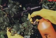 Рис.12 Опрыскивание растений
